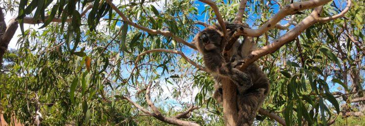 cropped-koala2.jpg